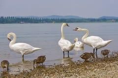 Cisnes mudas e patos Imagens de Stock Royalty Free