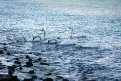 Cisnes mudas em Oceano Atlântico foto de stock royalty free