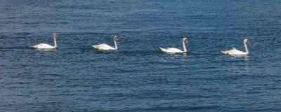 Cisnes mudas IV Foto de Stock