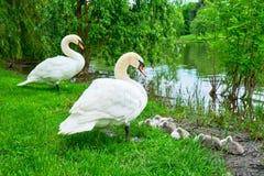 Cisnes mudas no protetor com os cisnes novos adoráveis que dormem na borda de uma ilha no parque de Alexandru Ioan Cuza, Bucarest fotografia de stock royalty free