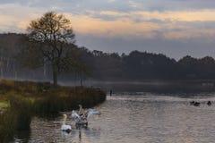 Cisnes mudas & x28; Olor& x29 do Cygnus; imagem de stock