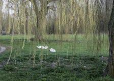Cisnes mudas que alimentam sob chorar o salgueiro Fotos de Stock Royalty Free