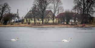 Cisnes mudas que nadam, campo fotos de stock royalty free