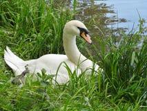 Cisnes mudos  Imagen de archivo libre de regalías