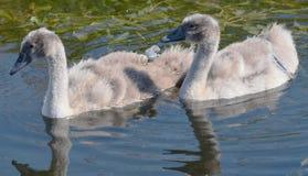 Cisnes mudos Foto de archivo libre de regalías