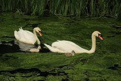 Cisnes mudos con los jóvenes unos foto de archivo libre de regalías