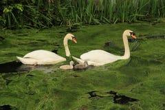 Cisnes mudos con los jóvenes unos imagen de archivo