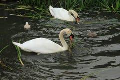Cisnes mudos con los jóvenes unos imágenes de archivo libres de regalías