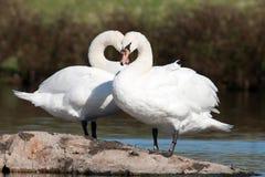 Cisnes mudos en amor Imagen de archivo libre de regalías