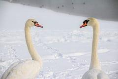 Cisnes mudos en amor Imagenes de archivo
