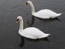 Cisnes mudos en el Bronx Imágenes de archivo libres de regalías