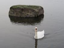 Cisnes mudos en el Bronx imagen de archivo libre de regalías