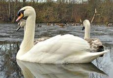 Cisnes mudos en invierno Fotografía de archivo