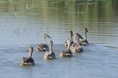 Cisnes mudos jovenes Fotos de archivo libres de regalías