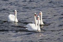 Cisnes mudos jovenes que nadan en el río Fotografía de archivo