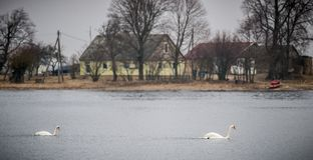 Cisnes mudos que nadan, campo fotos de archivo libres de regalías