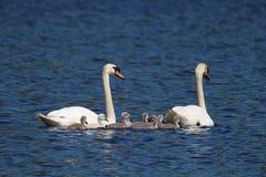 Cisnes mudos que nadan con los pollos del cisne Foto de archivo