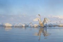Cisnes na água Foto de Stock Royalty Free