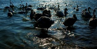 Cisnes na água Imagens de Stock