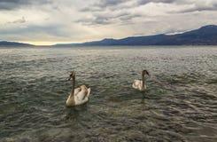 Cisnes na água do mar Imagens de Stock Royalty Free