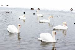 Cisnes na água entre a neve Foto de Stock Royalty Free