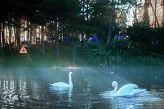 Cisnes na água no nascer do sol imagem de stock