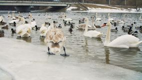 Cisnes na água pelo riverbanck durante o inverno filme