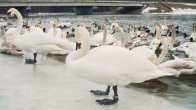 Cisnes na água pelo riverbanck durante o inverno vídeos de arquivo