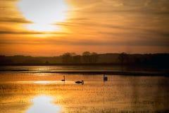 Cisnes na água na perspectiva do por do sol Fotografia de Stock Royalty Free