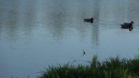 Cisnes na cidade video estoque