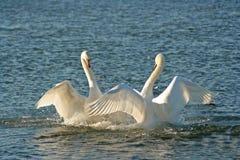 Cisnes na dança do amor Imagem de Stock Royalty Free