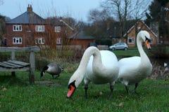 Cisnes na grama Imagem de Stock