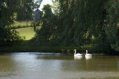 Cisnes na lagoa Imagens de Stock