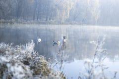 Cisnes na lagoa em uma manhã gelado do inverno Imagens de Stock
