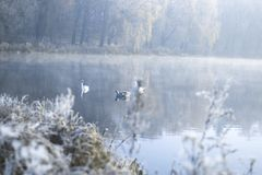 Cisnes na lagoa em uma manhã gelado do inverno Fotografia de Stock Royalty Free