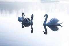 Cisnes na lagoa em uma manhã gelado do inverno Imagem de Stock Royalty Free