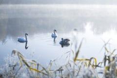Cisnes na lagoa em uma manhã gelado do inverno Foto de Stock