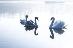 Cisnes na lagoa em uma manhã gelado do inverno Fotos de Stock Royalty Free