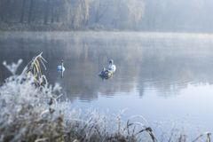 Cisnes na lagoa em uma manhã gelado do inverno Fotos de Stock
