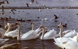 Cisnes na lagoa Um rebanho das cisnes Imagens de Stock
