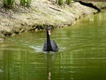 Cisnes na lagoa Um rebanho das cisnes Fotos de Stock Royalty Free