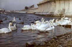 Cisnes na lagoa Um rebanho das cisnes Imagem de Stock