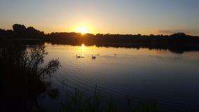 Cisnes na manhã Fotos de Stock