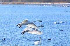 Cisnes na mola adiantada Fotos de Stock