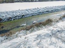 Cisnes na neve em Kent, Reino Unido Imagem de Stock