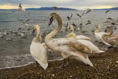 Cisnes na praia Foto de Stock