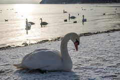 Cisnes na praia coberta na neve Fotografia de Stock Royalty Free