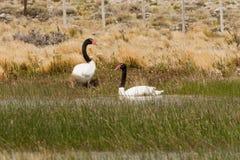 Cisnes Negro-Necked Imágenes de archivo libres de regalías