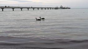 Cisnes negros imagen de archivo libre de regalías