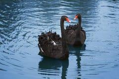 Cisnes negros Imágenes de archivo libres de regalías